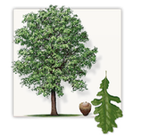 Burr Oak Tree Icon Image